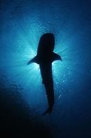 В поисках больших акул